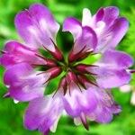 レンゲの花♪
