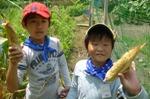 わんぱくトウモロコシの収穫