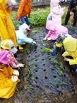 玉葱の苗植え