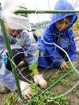 エンドウ豆の苗植え