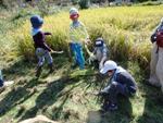 稲刈りは子供ども