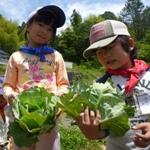 キャベツ収穫2