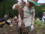芋掘り (150x113)