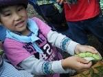 ソラマメの収穫