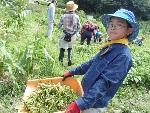 枝豆の収穫