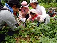 【報告】6/2里山のかやねずみ にちようび 畑で収穫体験